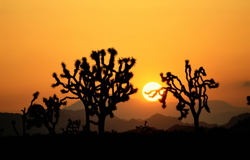 Orange-yellow sun low in the orange sky with the black silhouettes of the funky Joshua Trees at Joshua Tree National Park