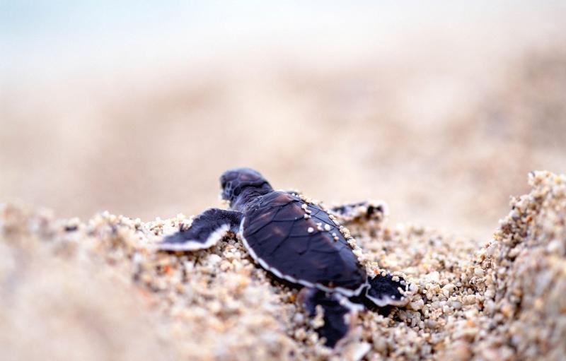 Padre Island National Seashore con la tortuga bebé en arena