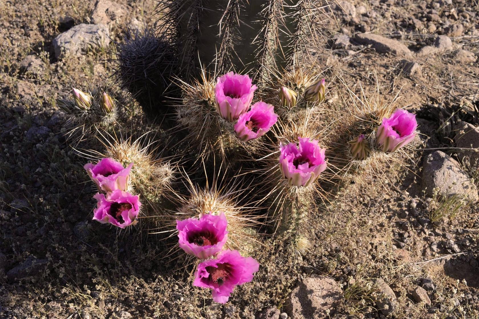 Rosa flores del cactus de erizo