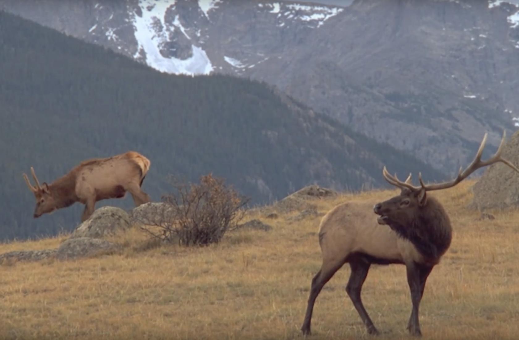 Elk grazing on grass