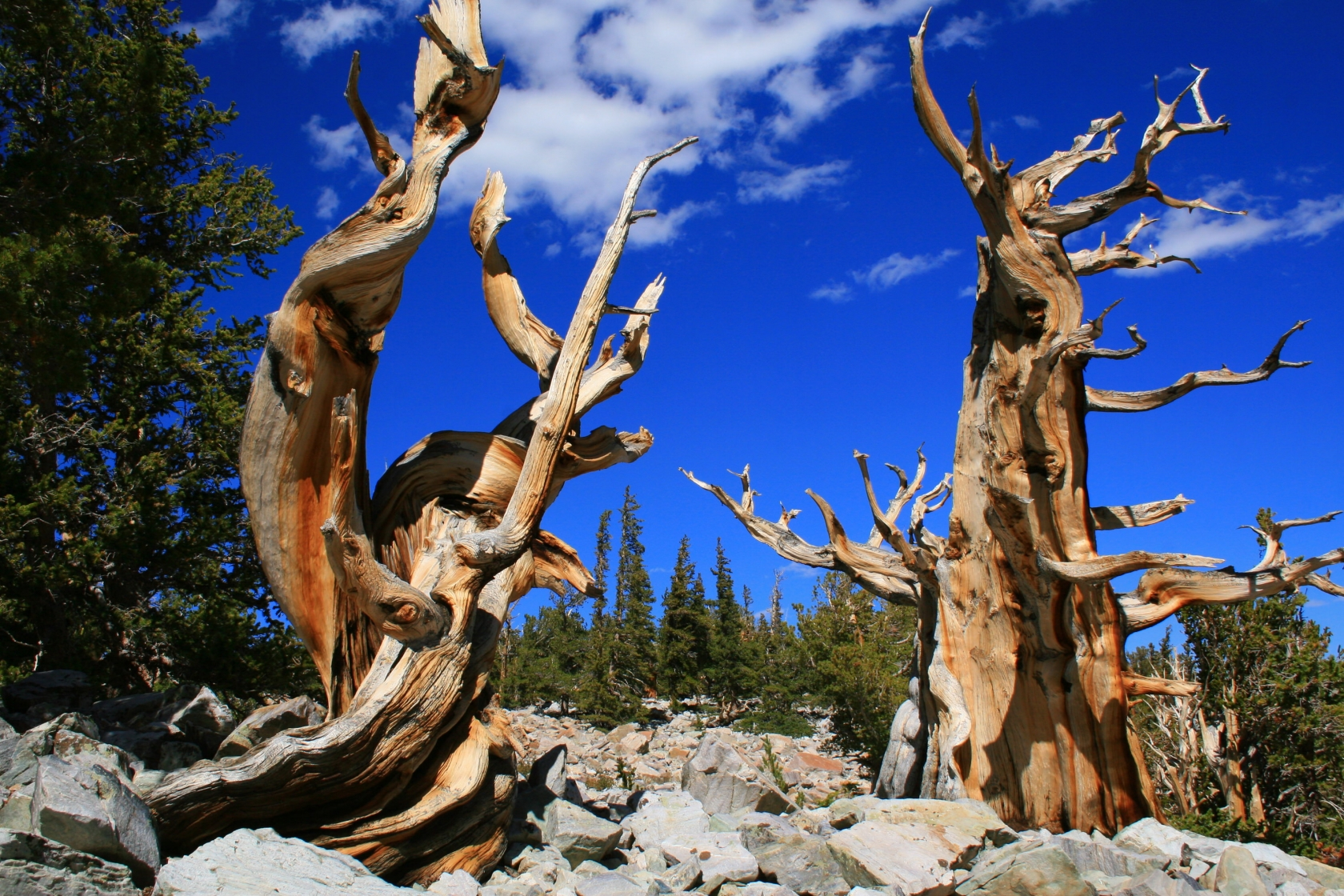 Ancient, weather worn, wiry branched Bristlecone pines stretch up to a deep blue sky in rocky, high-elevation area Great Basin National Park.