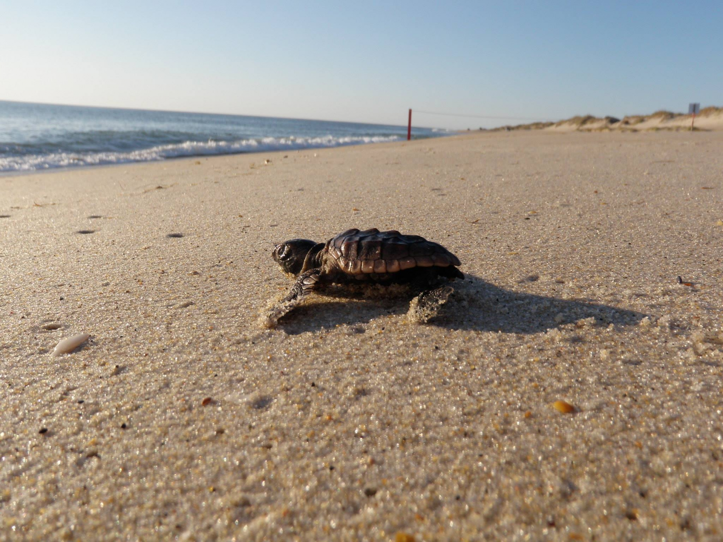 Baby turtle crawling on the beach towards the ocean at Cape Hatteras National Lakeshore