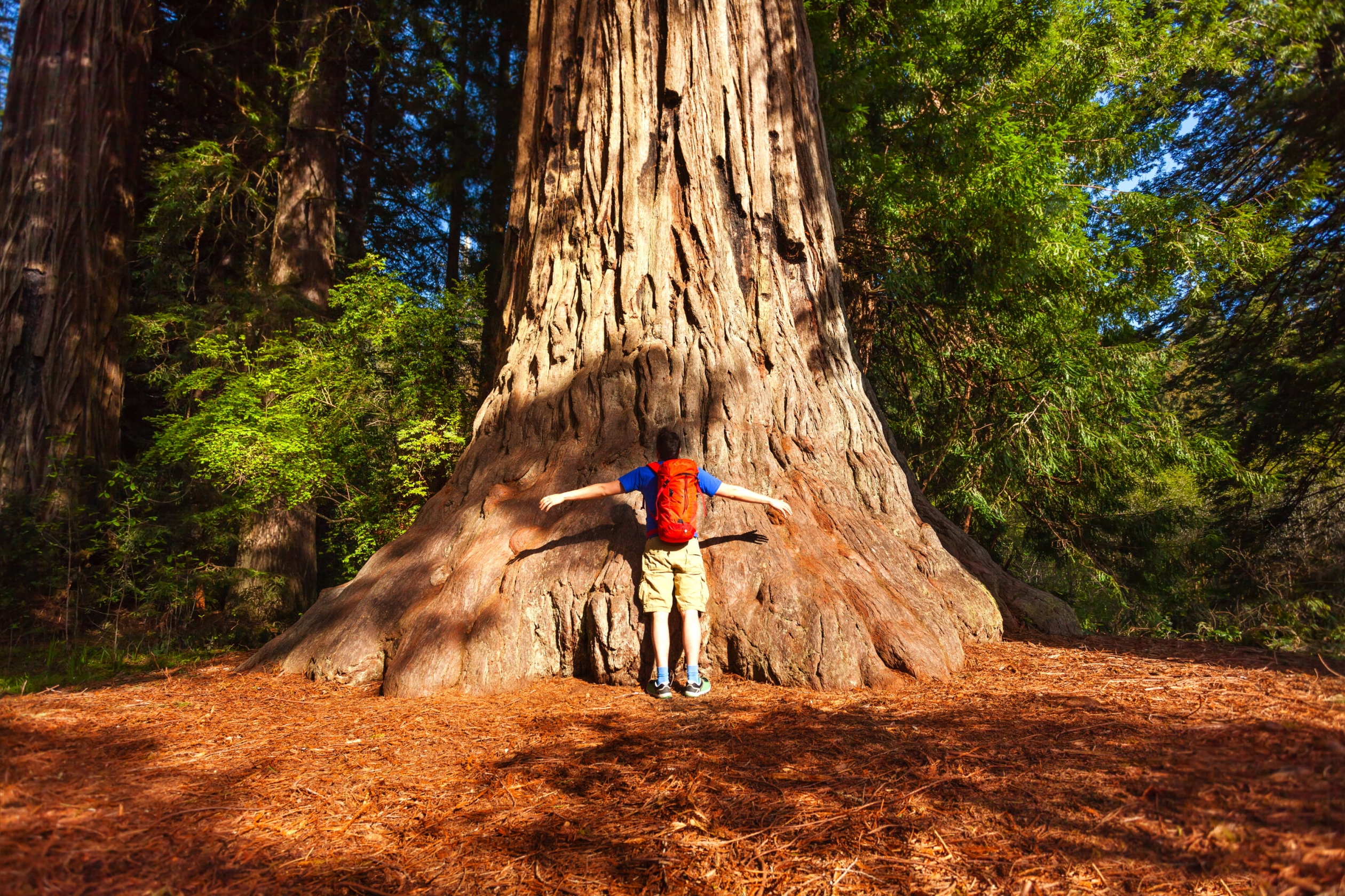 A man wearing a backpack trying to hug a giant tree trunk