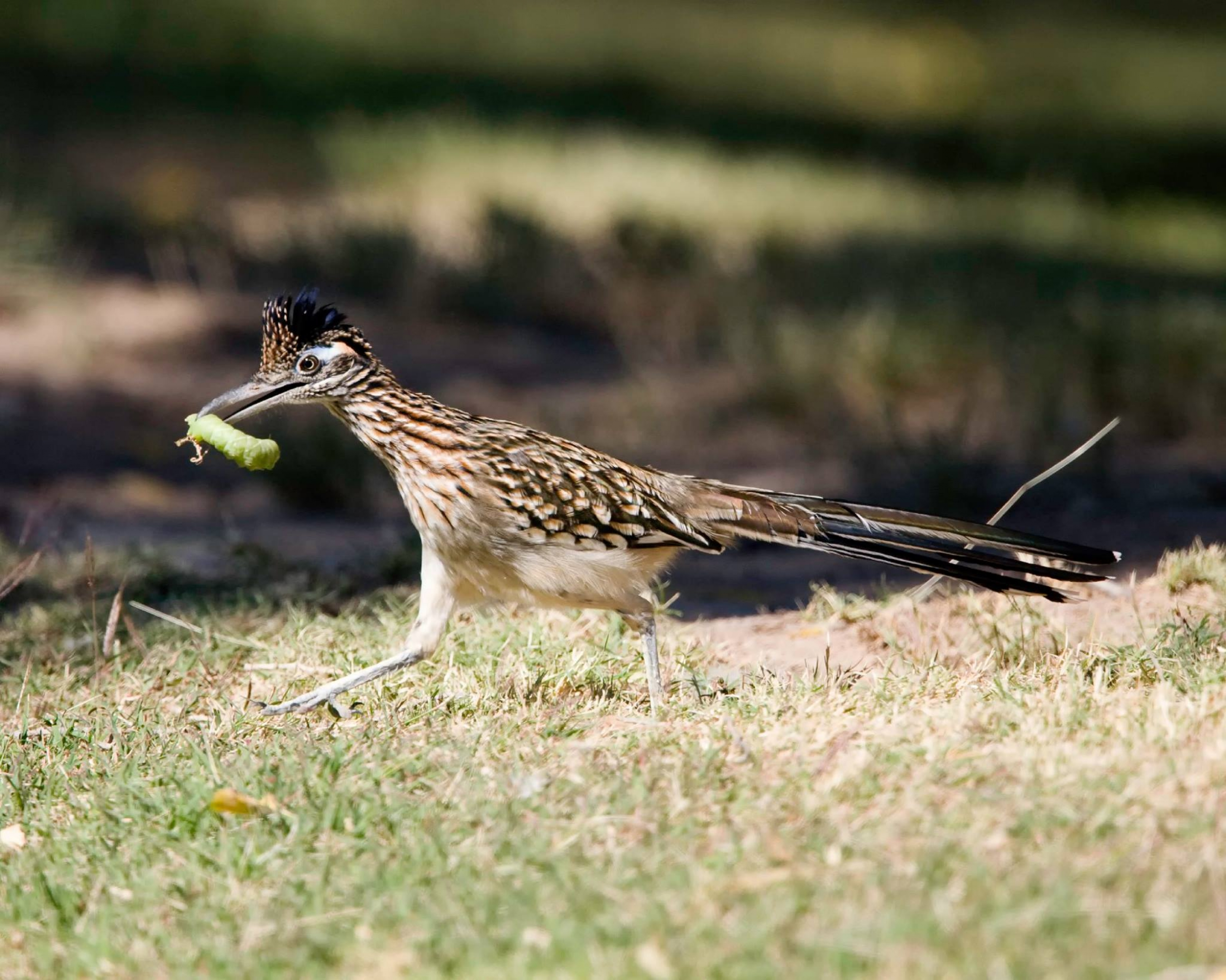 A roadrunner with a green caterpillar in its mouth running on the grass at Big Bend National Park