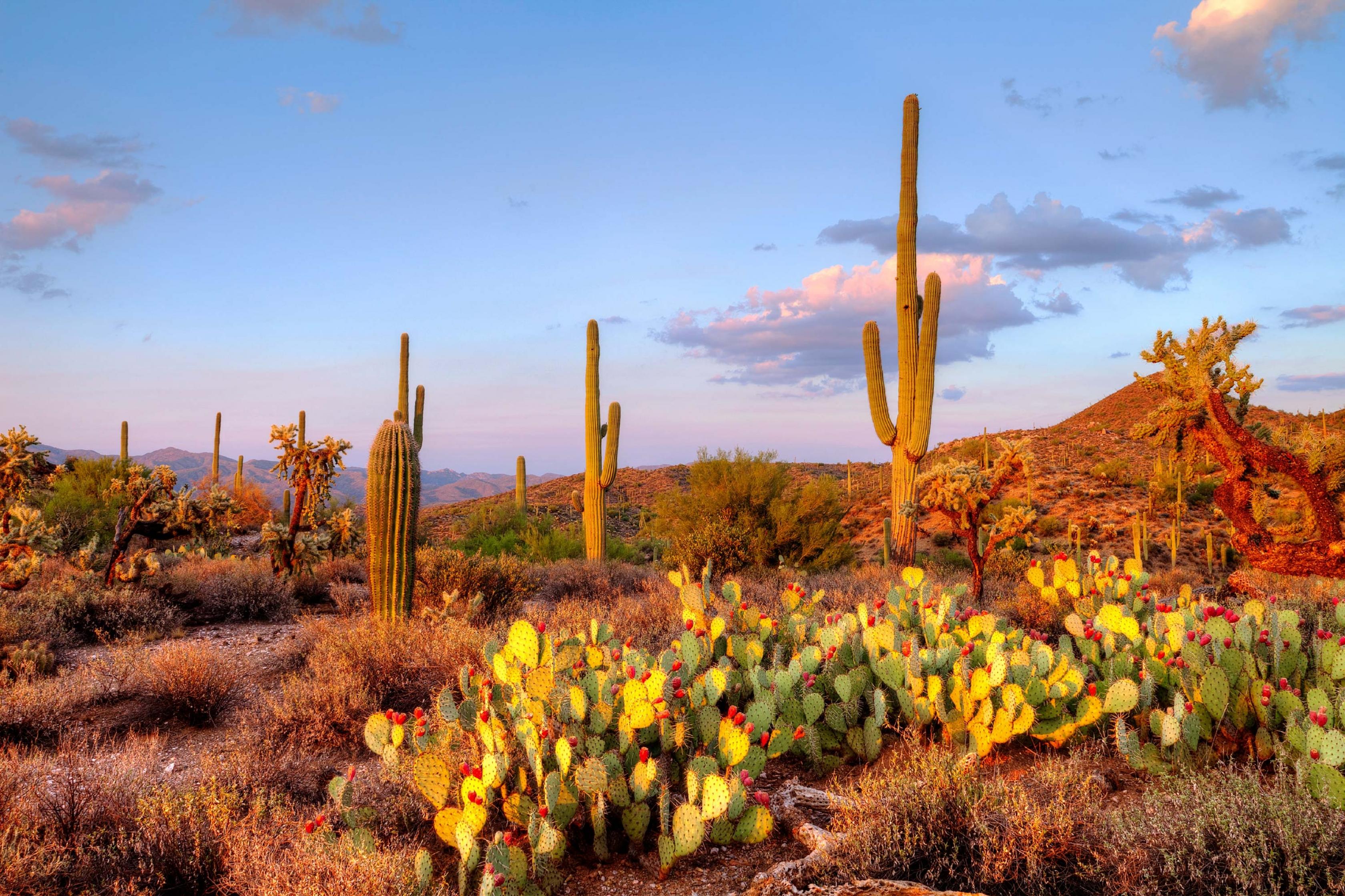 A grove of cactus, a regular site at Saguaro National Park.