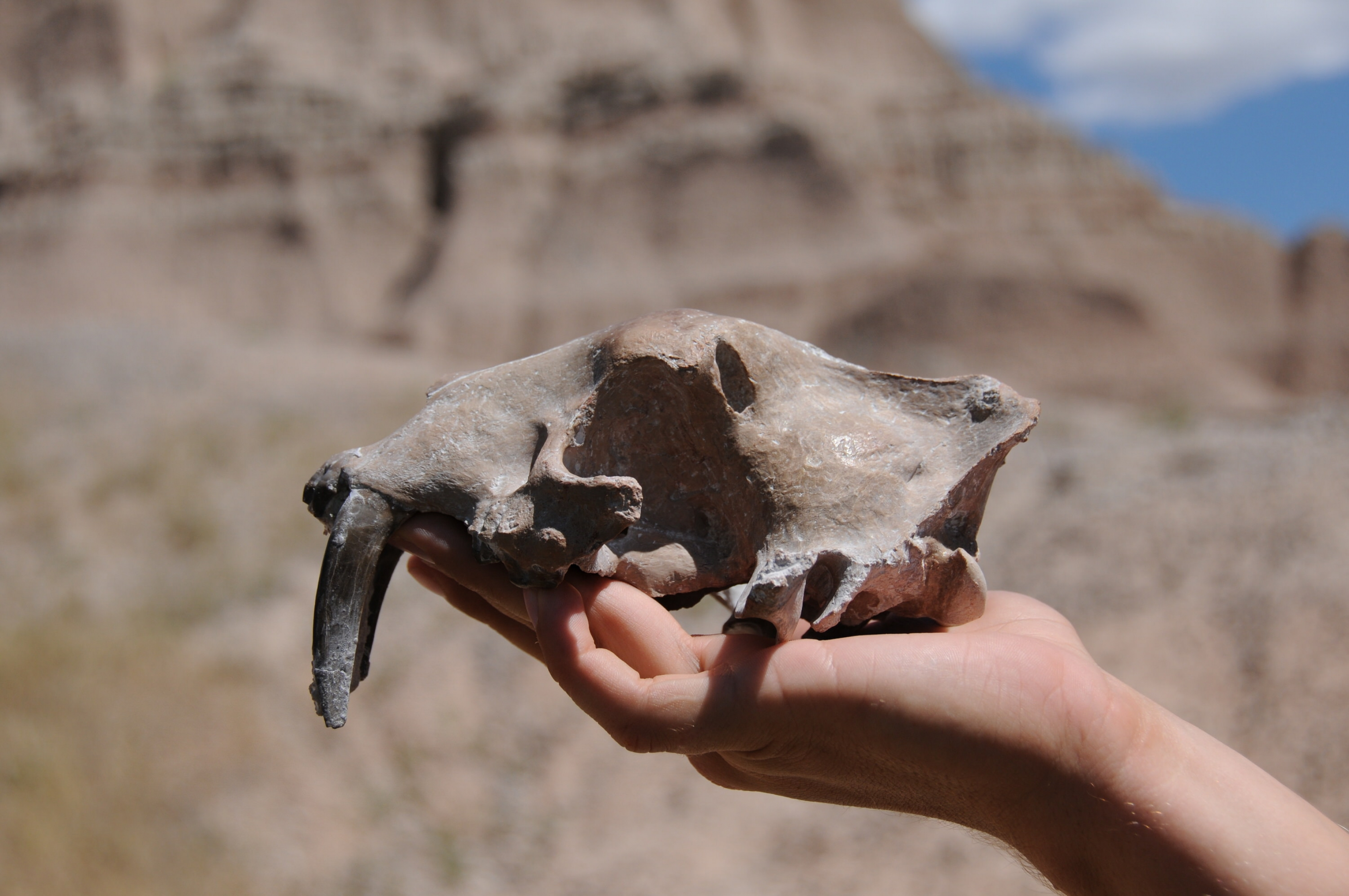 Close-up of hand holding up a fossil of a saber tooth cat skulls