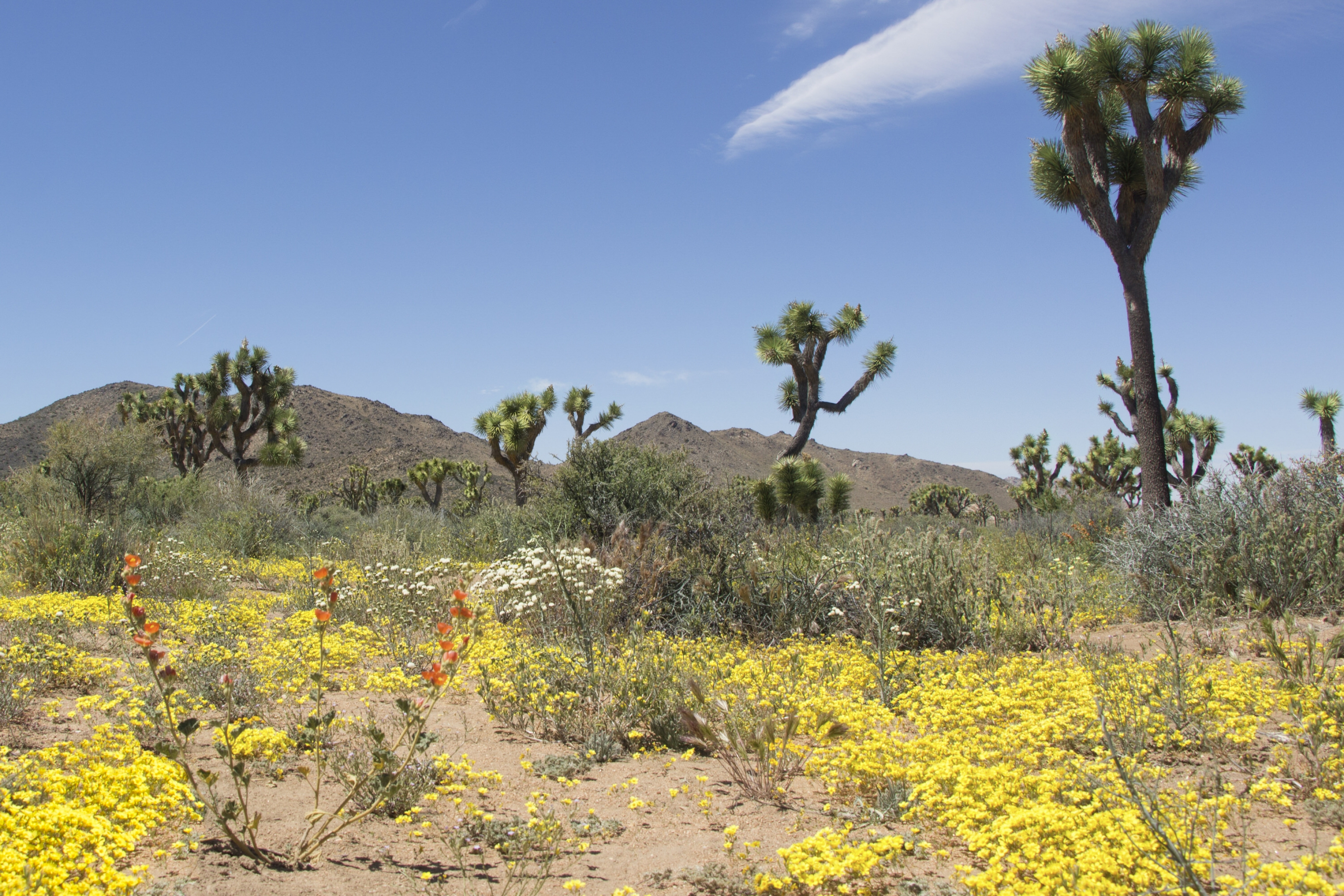 Red, white, and yellow wildflowers blossoming around tall Joshua Trees