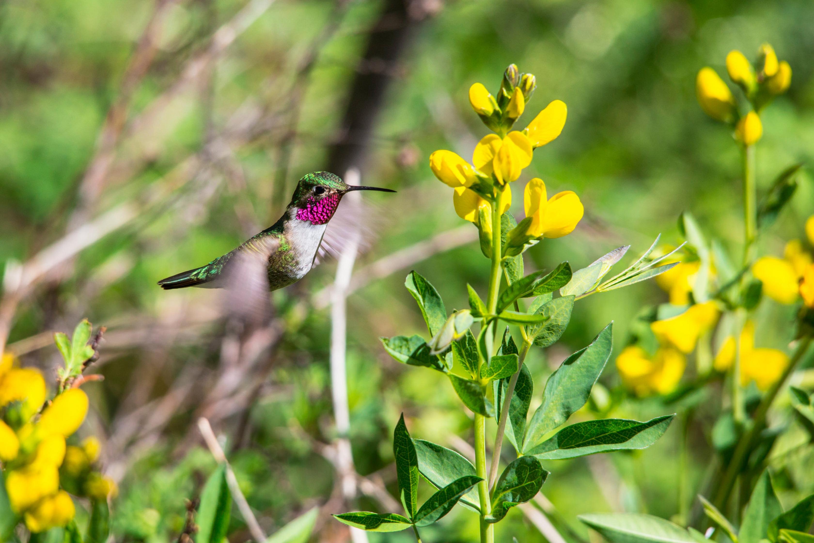 Un colibrí amplio atado en el Parque Nacional de las Montañas Rocosas.