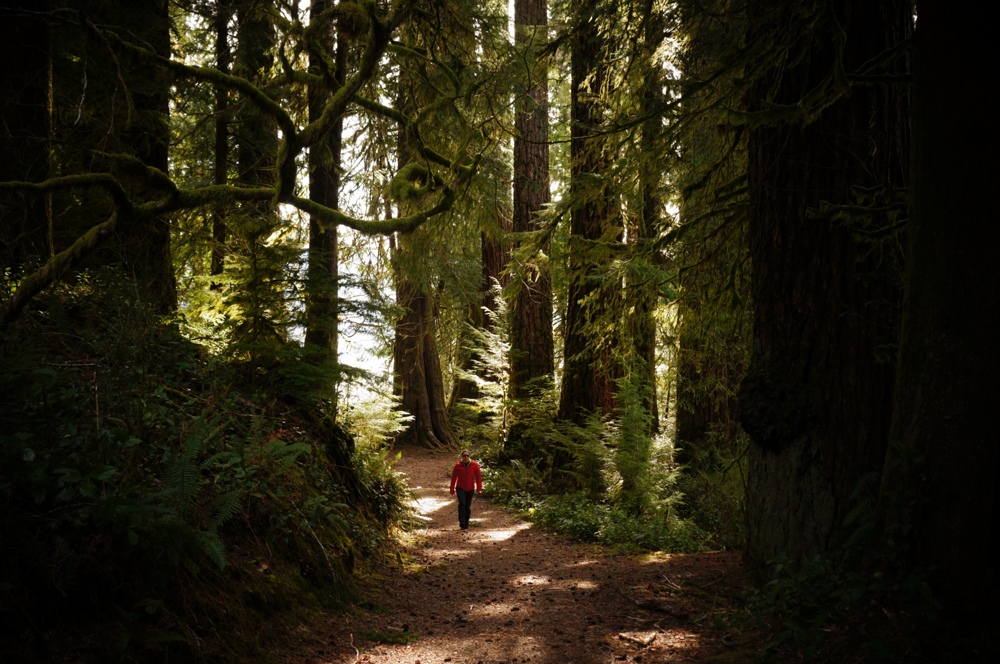 Un caminante hace su camino por el bosque en el Parque Nacional Olympic.