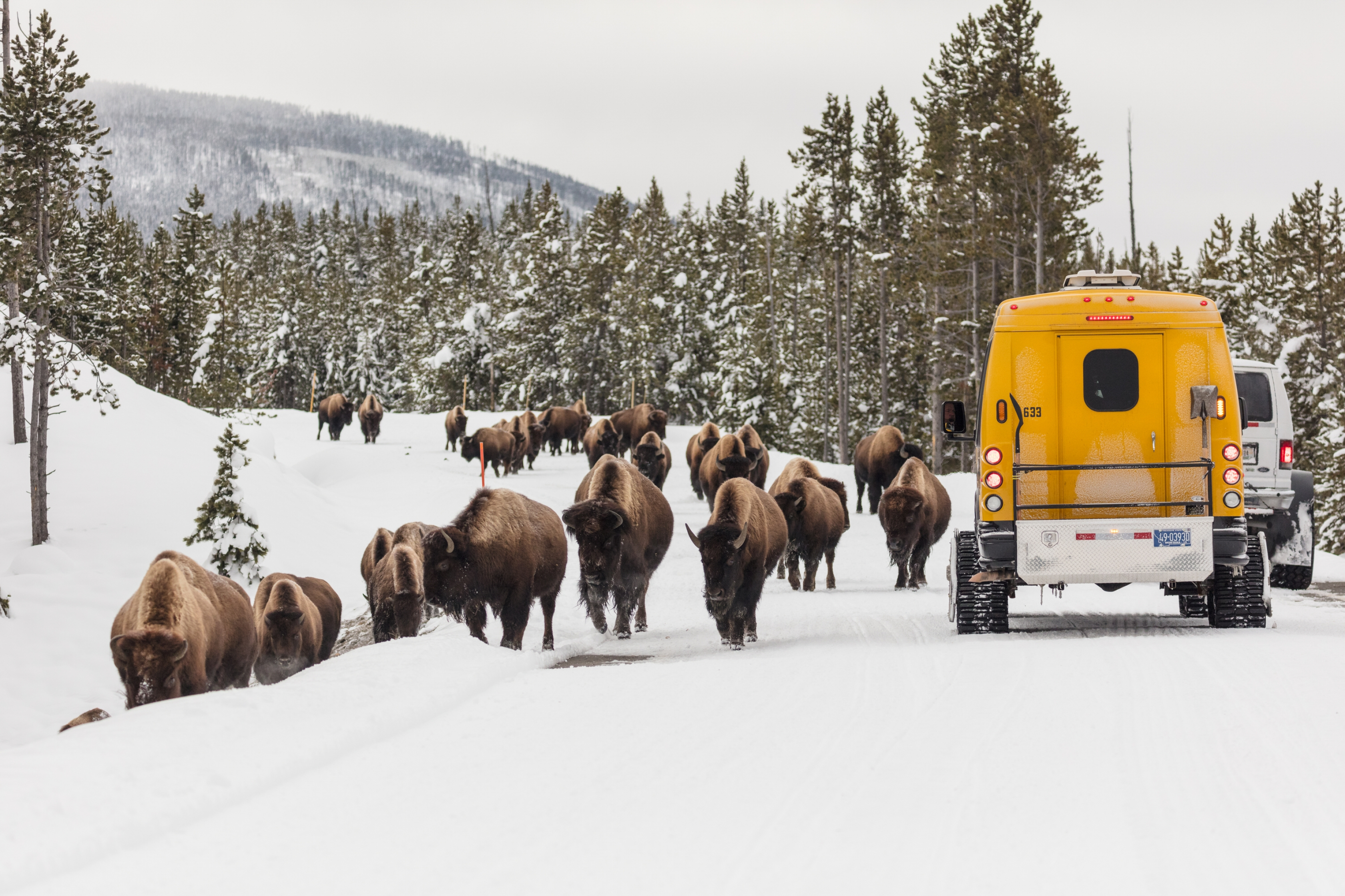 A herd of bison and a yellow snowcoach sharing the snowy road at Yellowstone National Park